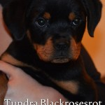 Tundra Blackrosesrot - Sold in USA - Haus Des Großen Pfoten